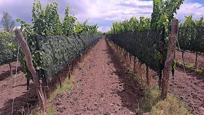 fine_wine_vineyard