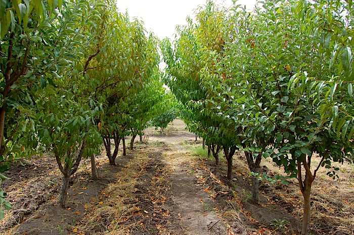 peach orchard amp plum orchard
